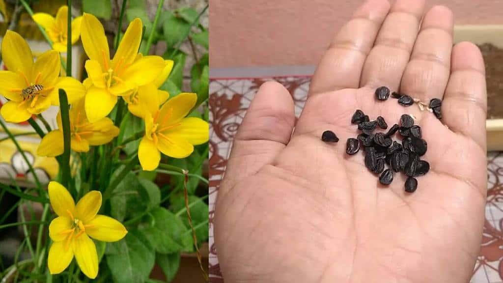 Hạt của cây hoa tóc tiên