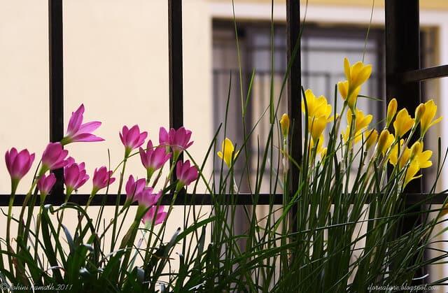 Tóc tiên cũng được ưa chuộng trồng trong không gian nhà ở