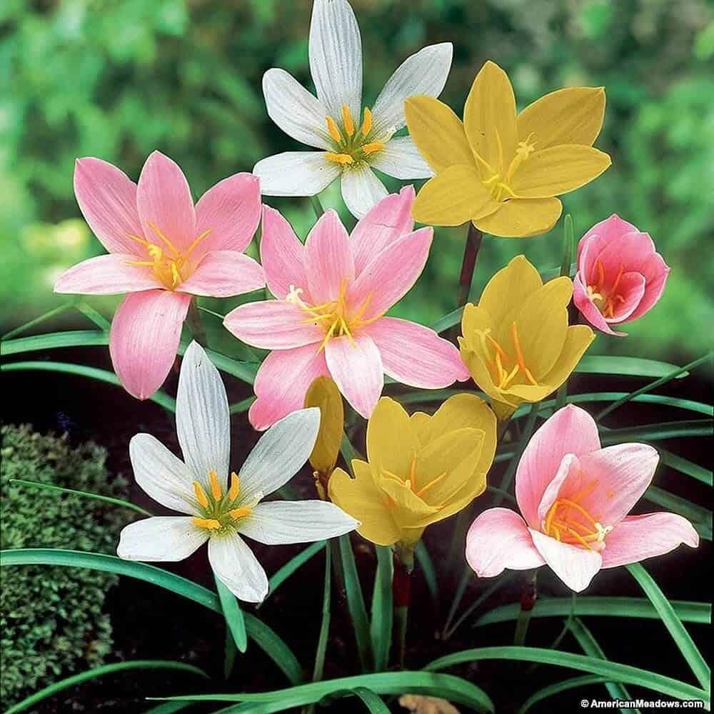 Hình ảnh hoa tóc tiên hồng, vàng, trắng được trồng xen kẽ