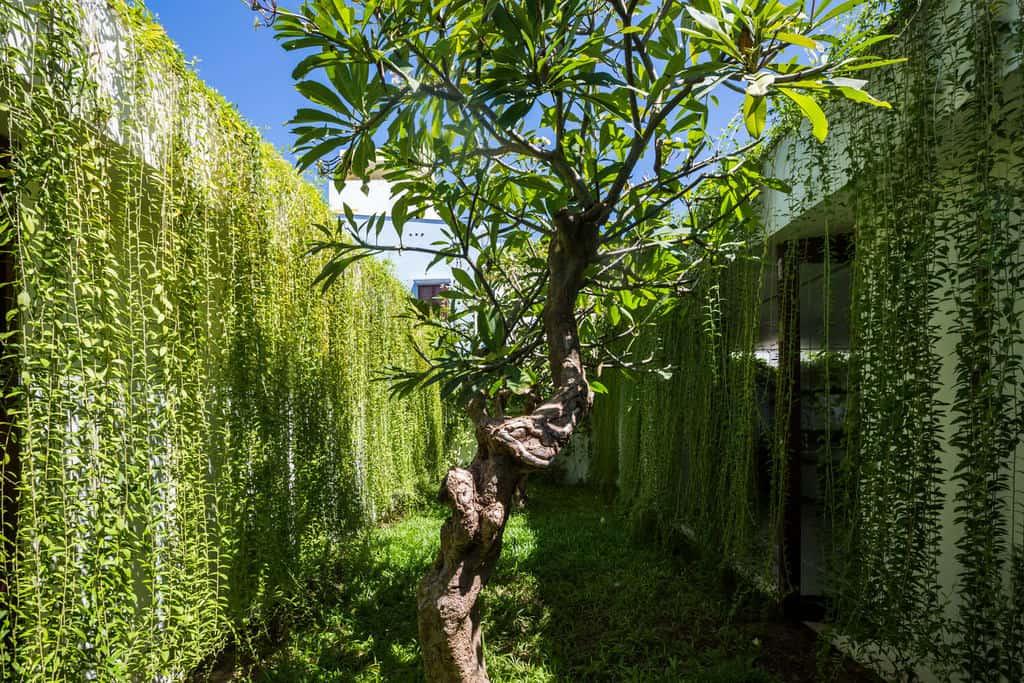 Hình ảnh cúc tần Ấn Độ được trồng trong khuôn viên nhà