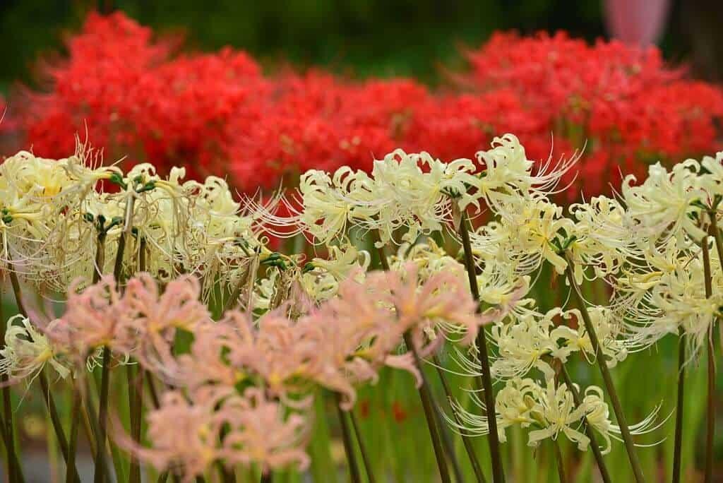 Màu hoa bỉ ngạn