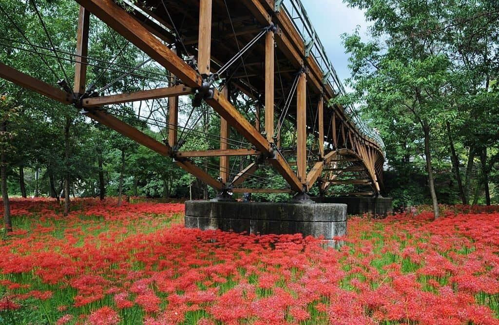 Vẻ đẹp trang trí của hoa bỉ ngạn