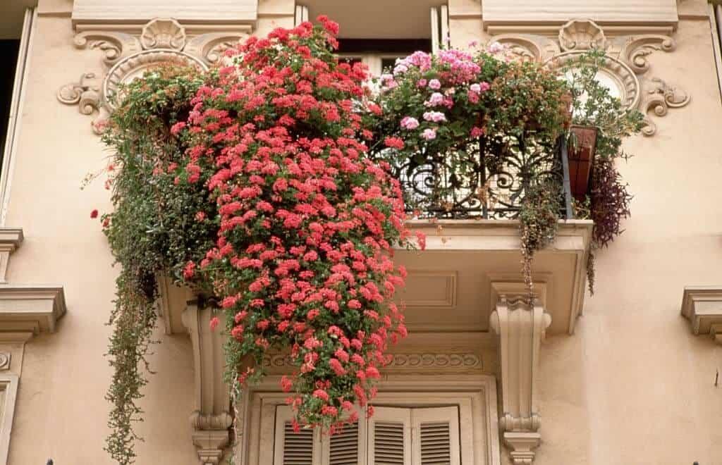 Hoa phong lữ bên lan can của một căn nhà nhỏ
