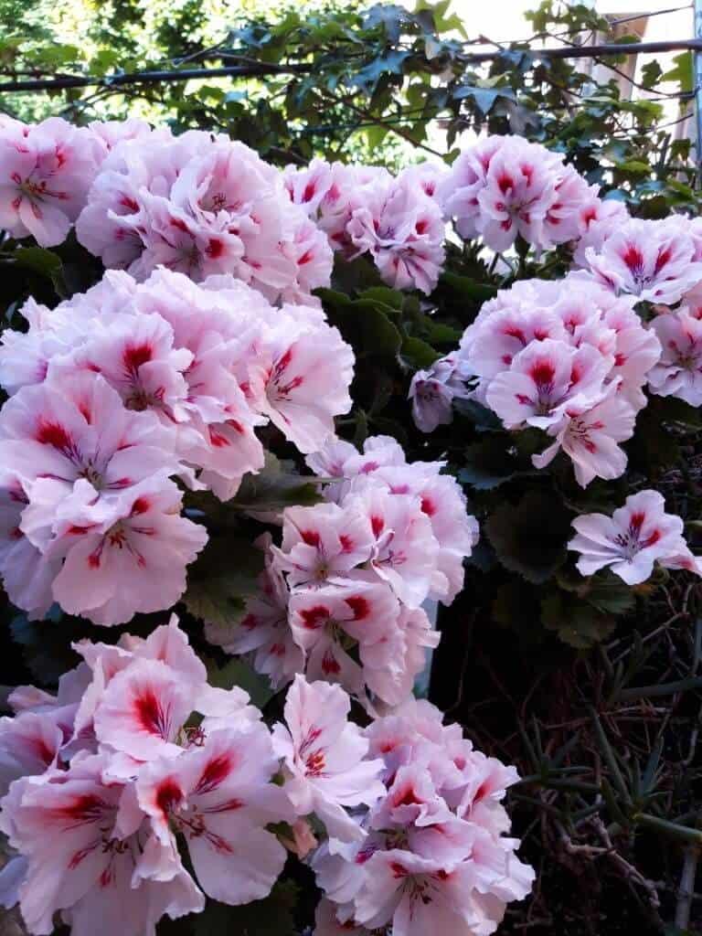 Cụm hoa phong lữ