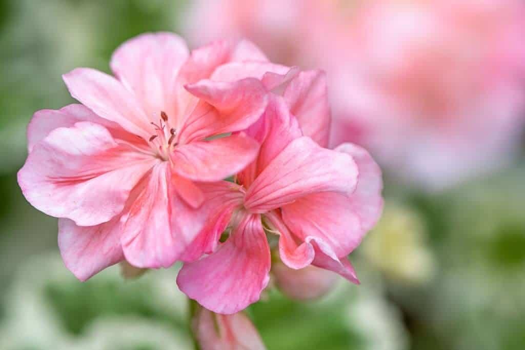 Phong lữ hồng