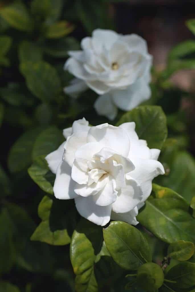 Hoa dành dành bung nở