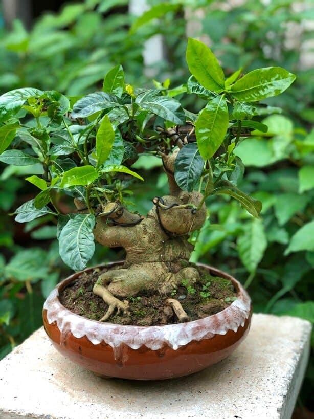 Gốc dành dành bonsai