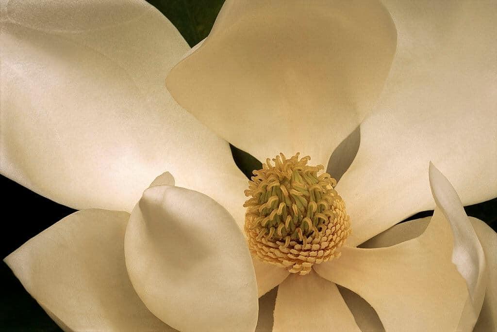 Hình ảnh hoa sen đất