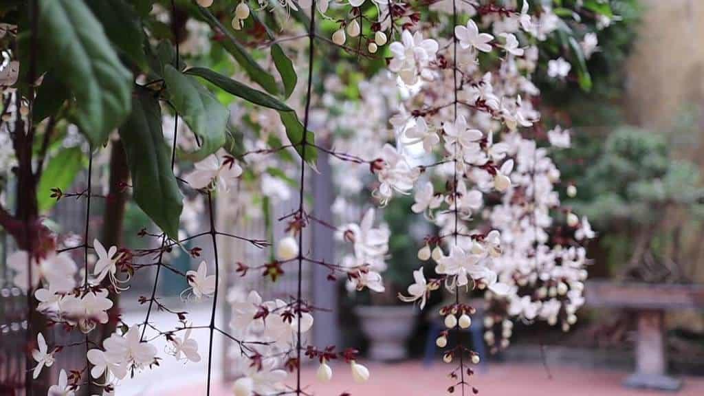 Cụm hoa có thể dài tới 1m