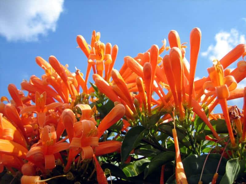 Hình ảnh hoa chùm ớt