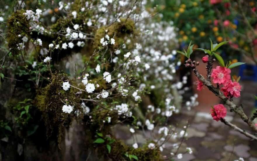 Cách chăm sóc hoa nhất chi mai cho nhiều hoa