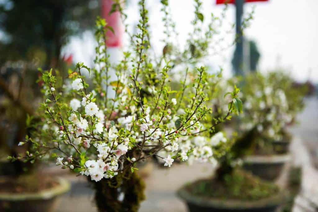 Loài cây quý được ưa chuộng trồng tạo cảnh quan