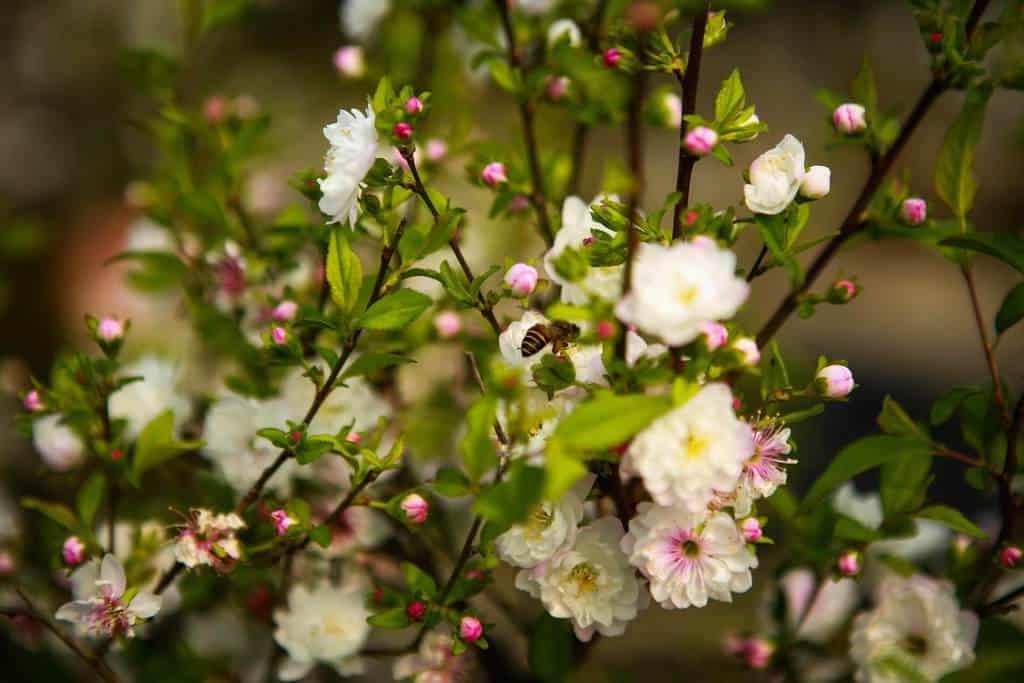 Những nụ nhất chi mai hồng nở ra hoa màu trắng muốt