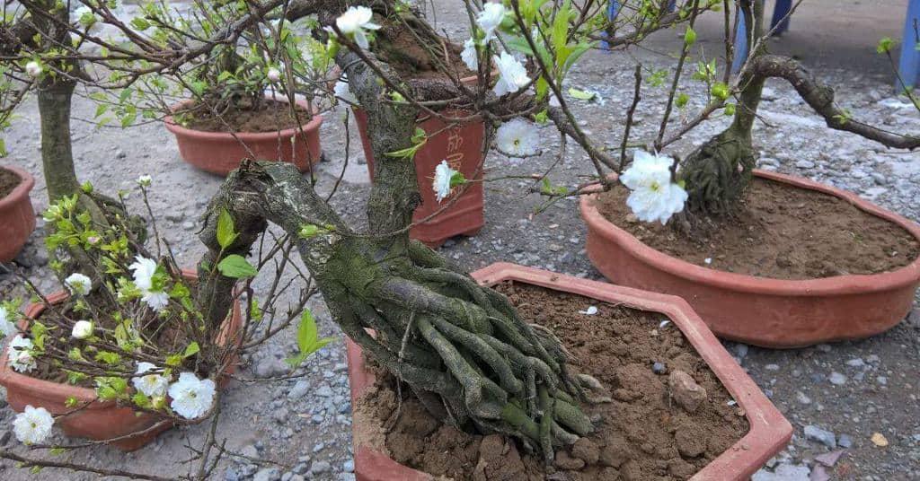 Thế gốc đẹp của cây nhất chi mai