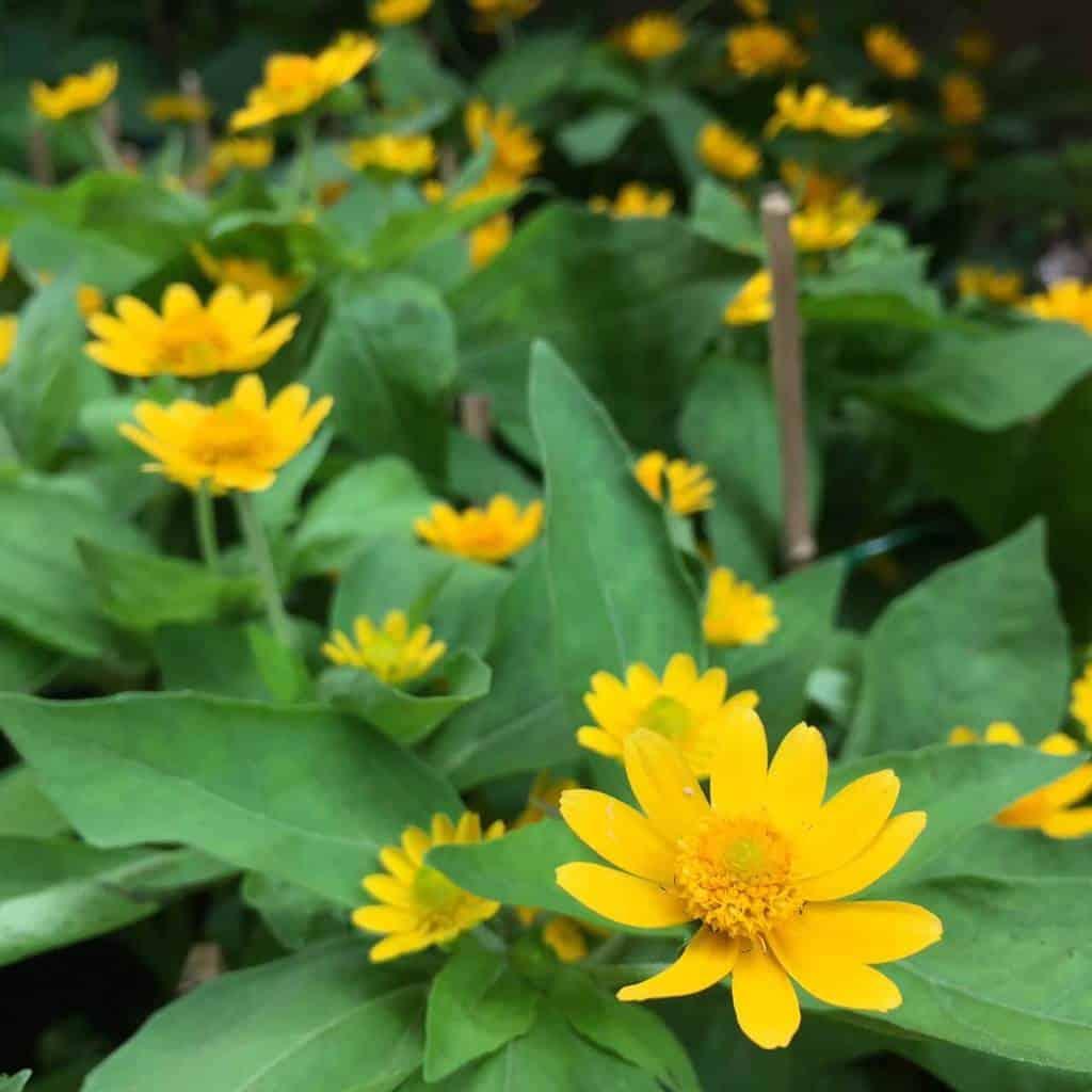 Lá hoa cúc gót