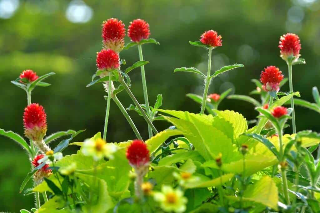 Cúc bách nhật đỏ