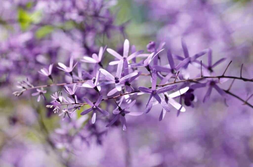 Vẻ đẹp của hoa mai xanh