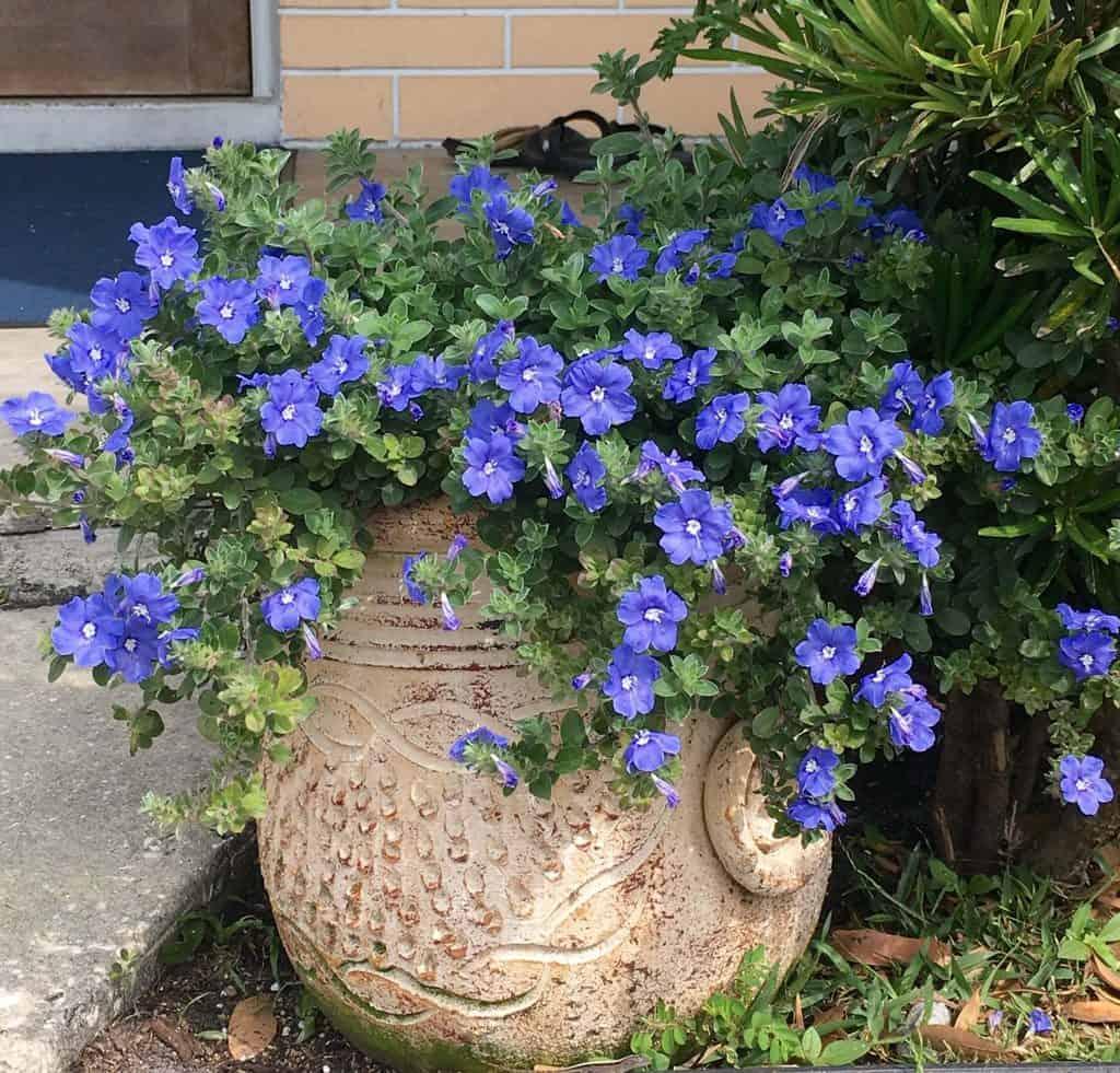 Hoa thanh tú rất được ưa chuộng trong trồng tạo cảnh quan vì ý nghĩa của nó