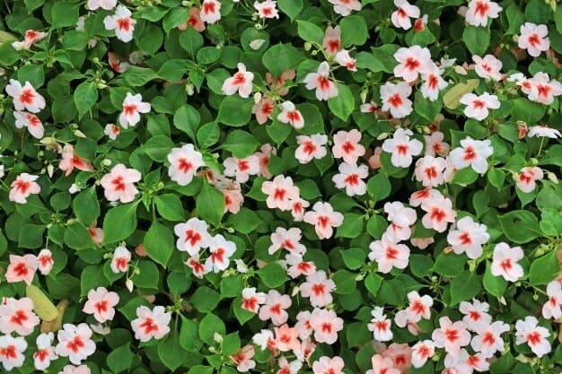 Hoa ngọc thảo mang rất nhiều ý nghĩa