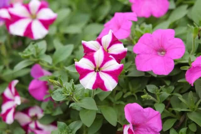 Hoa ngọc thảo đơn