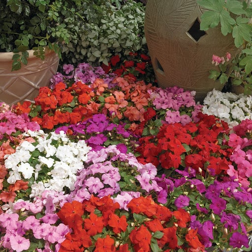 Hoa ngọc thảo được trồng khắp nơi