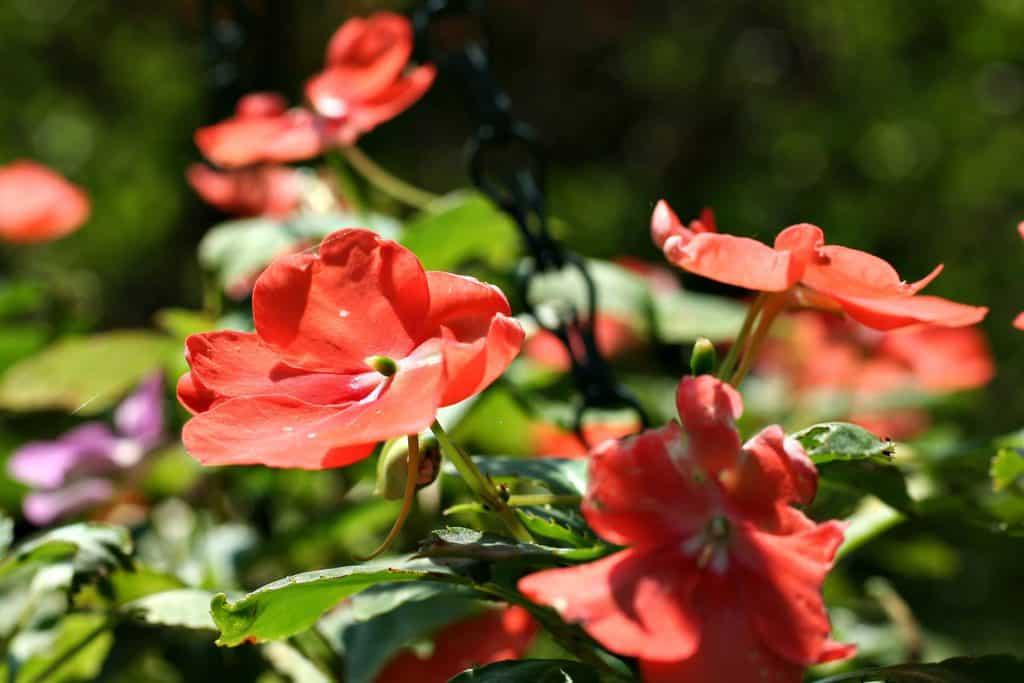 Hình ảnh hoa ngọc thảo