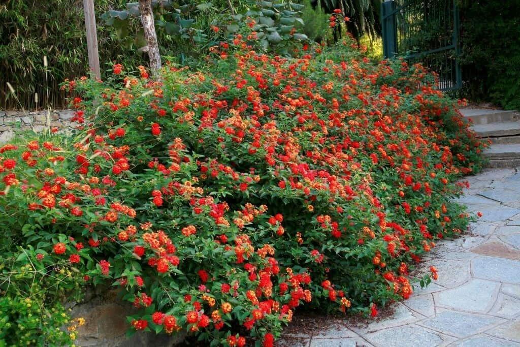 Hoa ngũ sắc được ưa chuộng trong trồng tạo cảnh quan