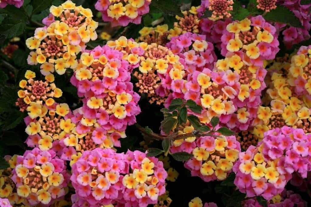 Hình ảnh hoa ngũ sắc