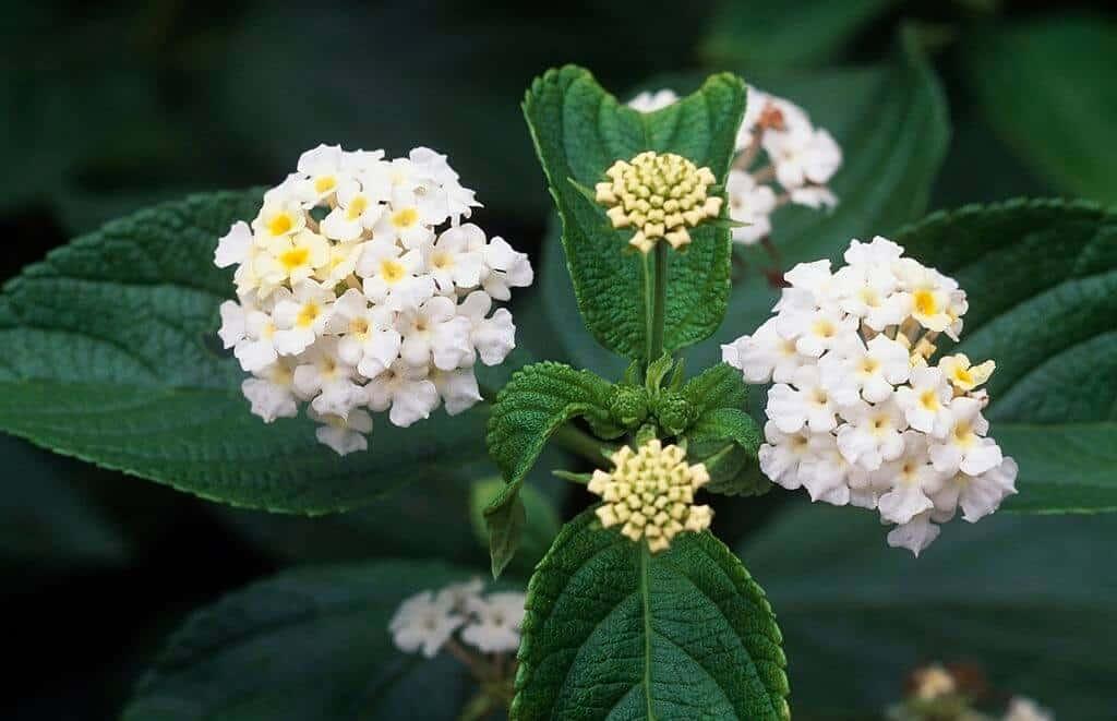Cận cảnh cụm hoa ngũ sắc