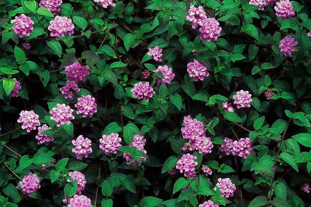Hình ảnh hoa ngũ sắc tím