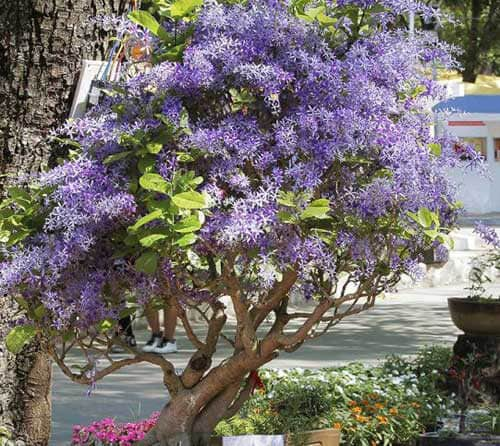 Dáng cây bonsai