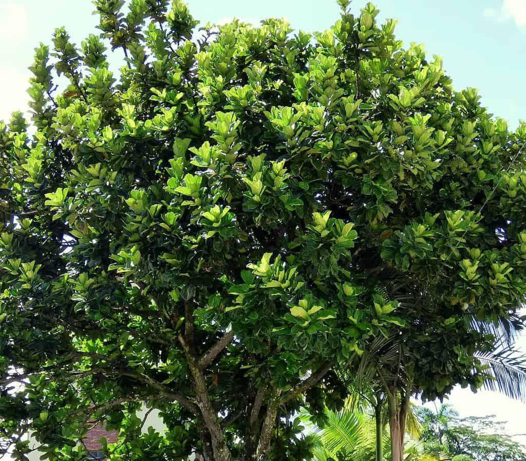 Có những cây bàng Singapore rất cao, to