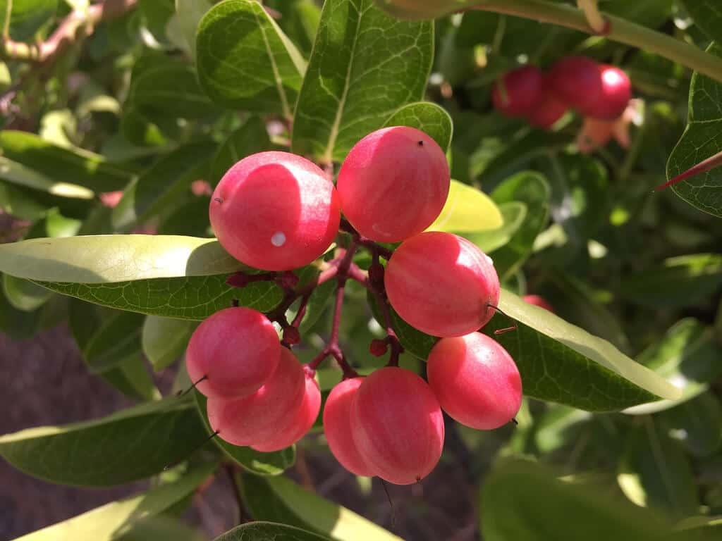 Cây siro ngày nay được trồng phổ biến