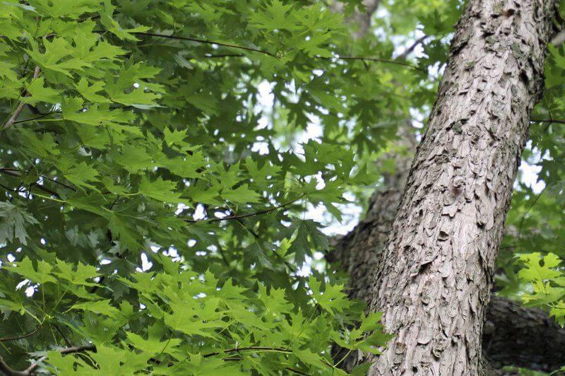 Hình ảnh cây phong bạc