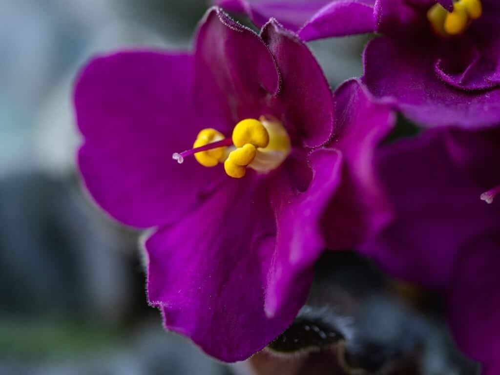 Tử linh lan, Violet Châu Phi