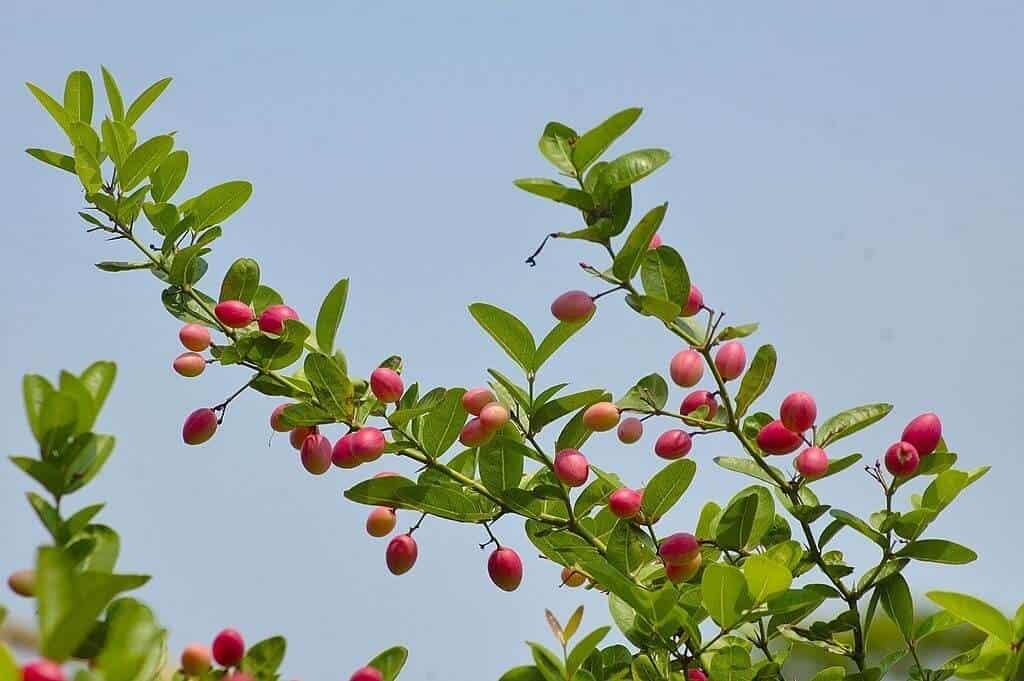 Loại cây quả mang nhiều ý nghĩa