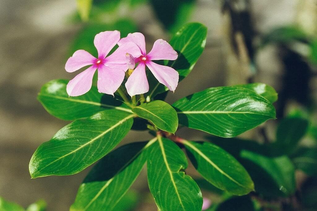 Hoa và lá dừa cạn