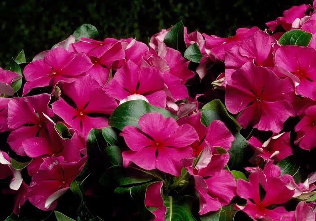 Dừa cạn là loài hoa mang nhiều ý nghĩa