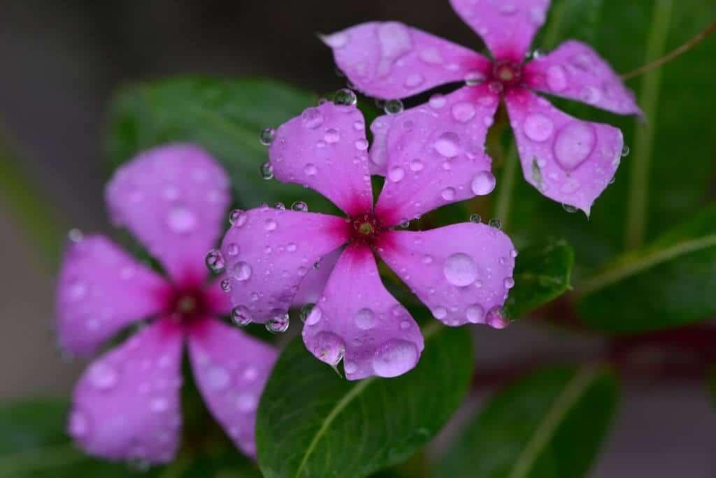 Hình ảnh hoa dừa cạn tím