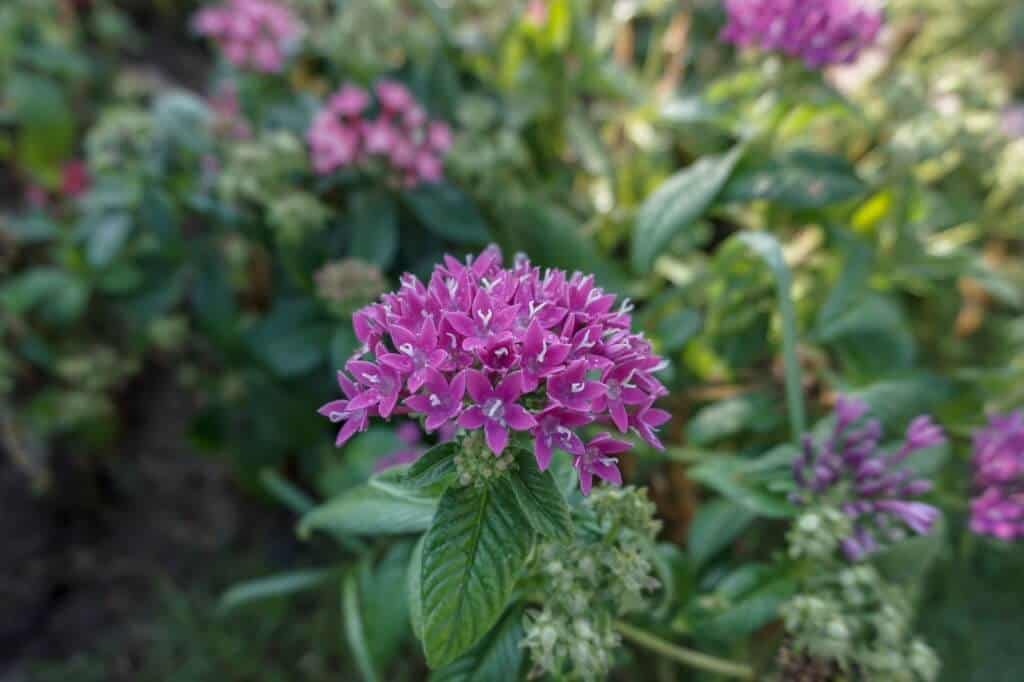 hoa Diễm Châu tím - Pentas lanceolata