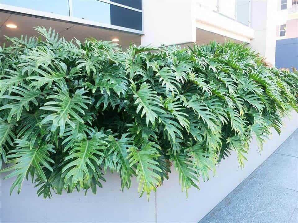 Trầu bà được trồng rất phổ biến ở Việt Nam