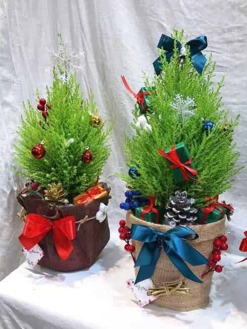 Cây tùng thơm được trang trí trong dịp Noel