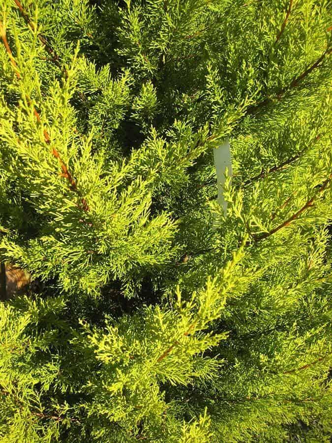 Hình ảnh cây tùng thơm