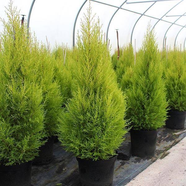 Cây được trồng khá phổ biến