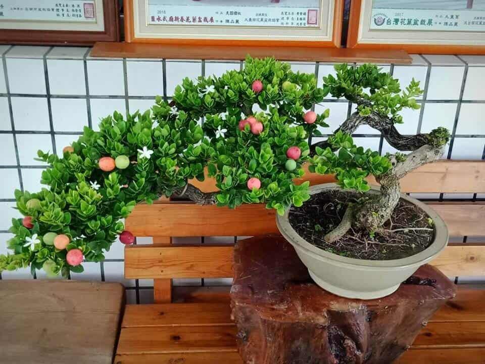 Hình ảnh cây siro bonsai