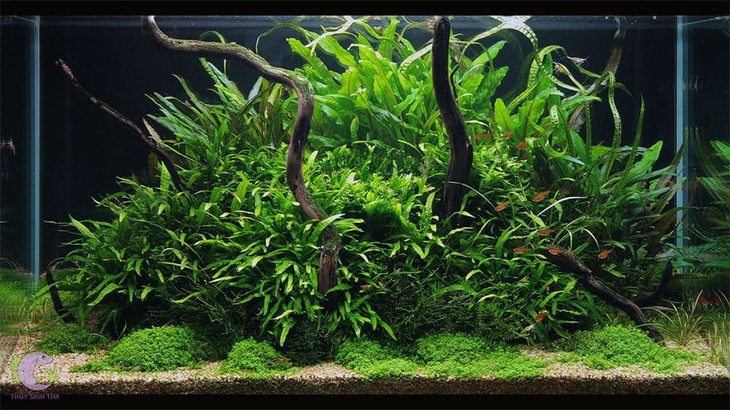 Hình ảnh dương xỉ thủy sinh