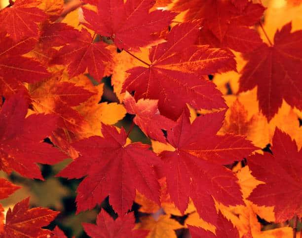 Hình ảnh phong lá đỏ Nhật Bản
