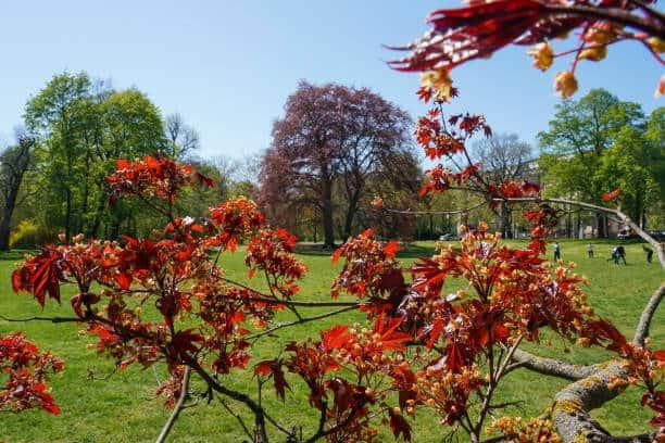 Phong lá đỏ vào mùa thu rất đẹp