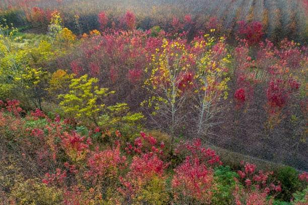 Phong lá đỏ được trồng phổ biến ở các nước có khí hậu lạnh