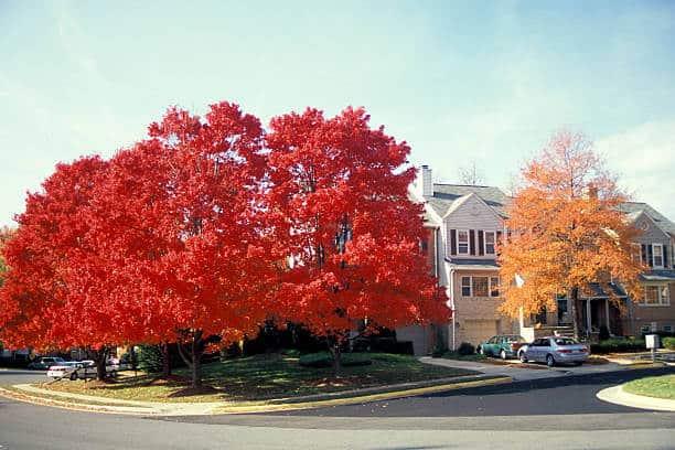 Phong lá đỏ được trồng làm cảnh